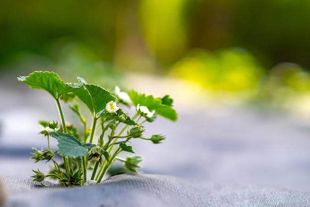 夏の庭で屋外で成長している白い花と小さな緑のイチゴ植物のクローズアップ。