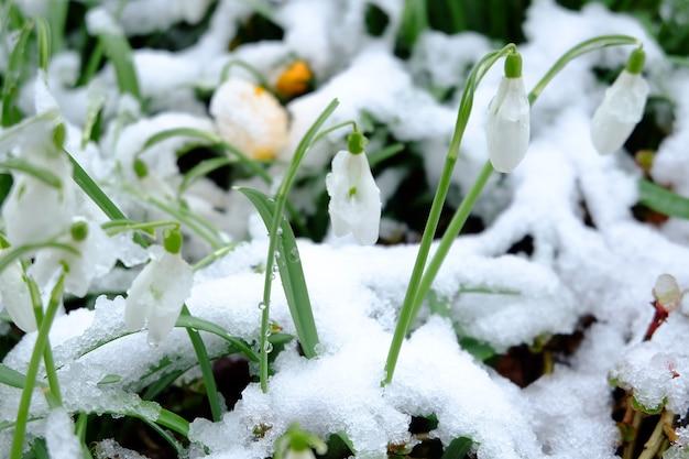 Крупным планом подснежники, покрытые снегом под солнечным светом