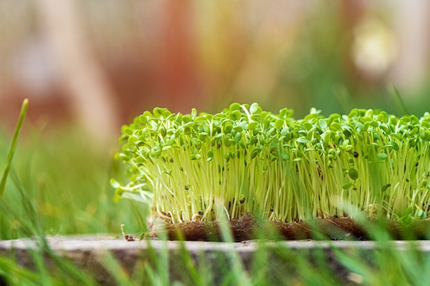Крупный план проросшей рукколы растет на влажной льняной циновке.