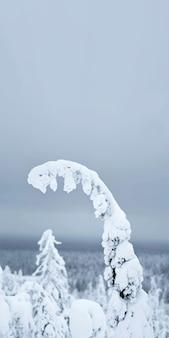 フィンランド、リーシトゥントゥリ国立公園の雪に覆われたトウヒの枝のクローズアップ