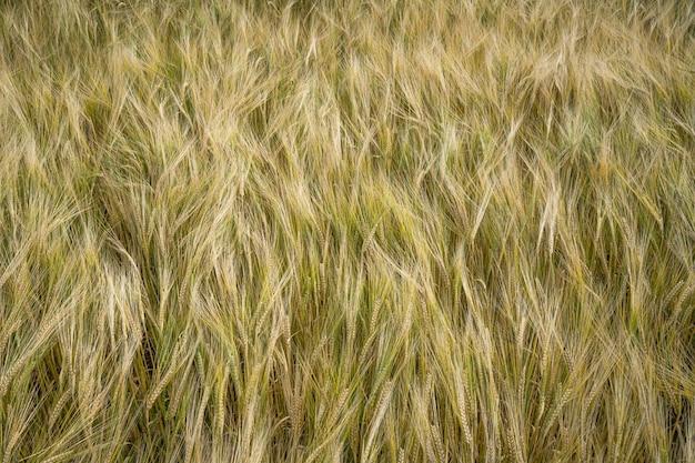 보리 곡물 필드 배경의 근접 촬영