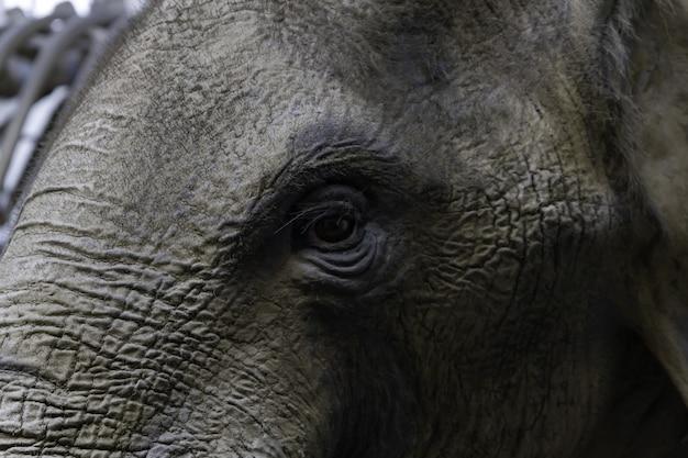象の目のクローズアップ