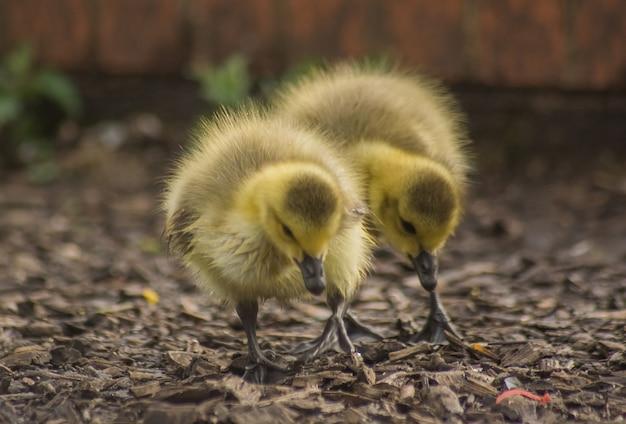 땅 위를 걷고 있는 푹신한 작은 노란 오리의 클로즈업