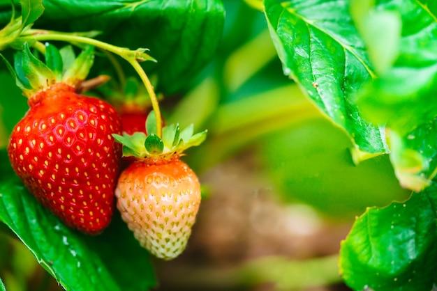 庭の新鮮な熟したイチゴのクローズアップ