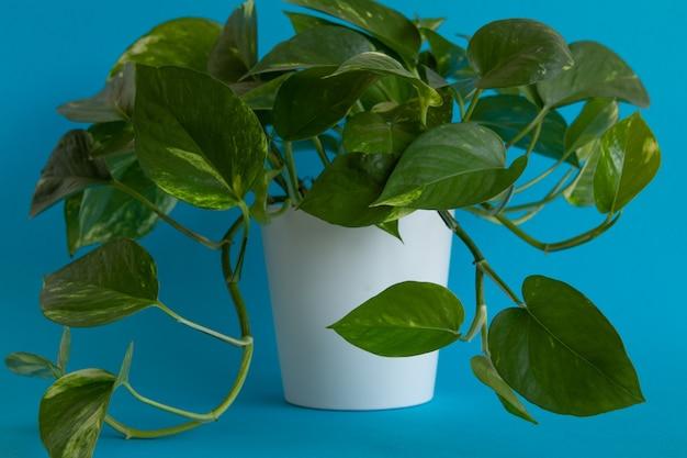 파란색 배경에 화분에 식물의 성장하는 녹색 잎의 근접 촬영