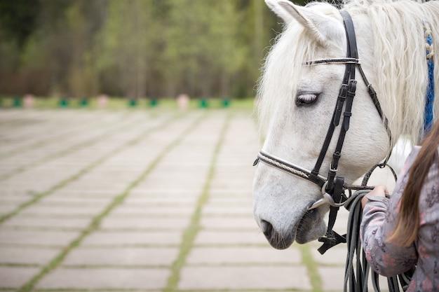 Крупный план головы белого коня с уздечкой и поводьями в руках девушки