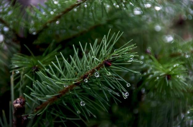 Крупным планом иголки елки