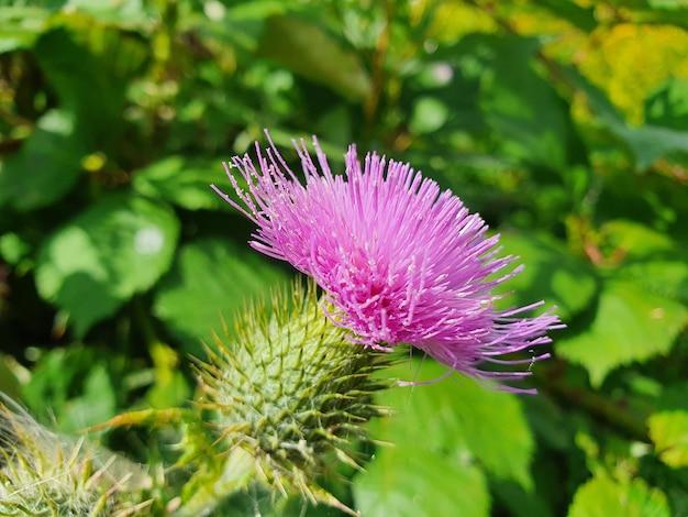 アメリカオニアザミの花のクローズアップ