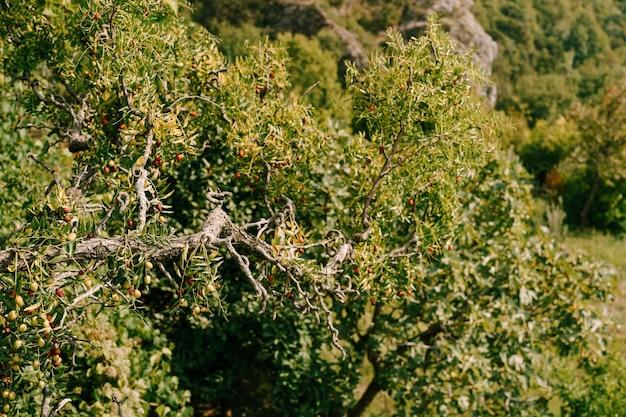 Крупным планом ветвей деревьев с плодами зизифа