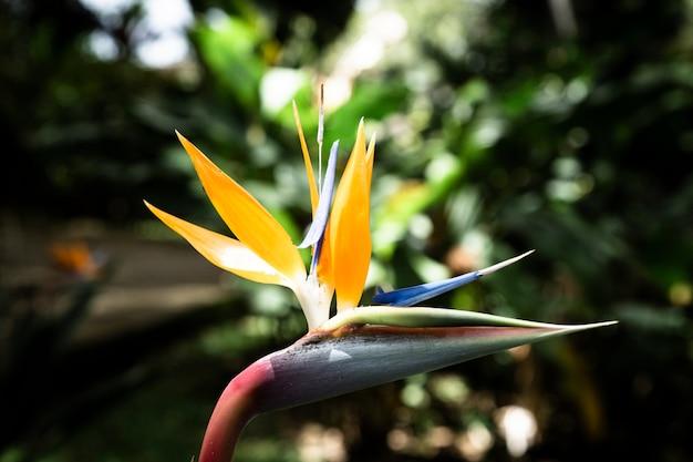 熱帯ストレチア花のクローズアップ