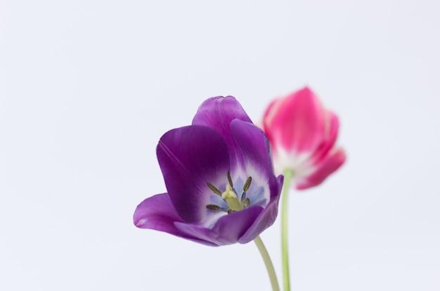 Крупный план двух красочных цветов тюльпана, изолированных на белом фоне с пространством для вашего текста