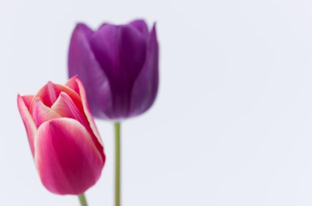 텍스트에 대 한 공간을 가진 흰색 배경에 고립 된 두 개의 화려한 튤립 꽃의 근접 촬영
