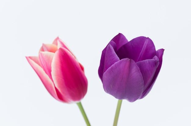흰색 배경에 고립 된 두 개의 화려한 튤립 꽃의 근접 촬영