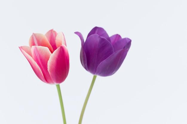 白い背景で隔離の2つのカラフルなチューリップの花のクローズアップ