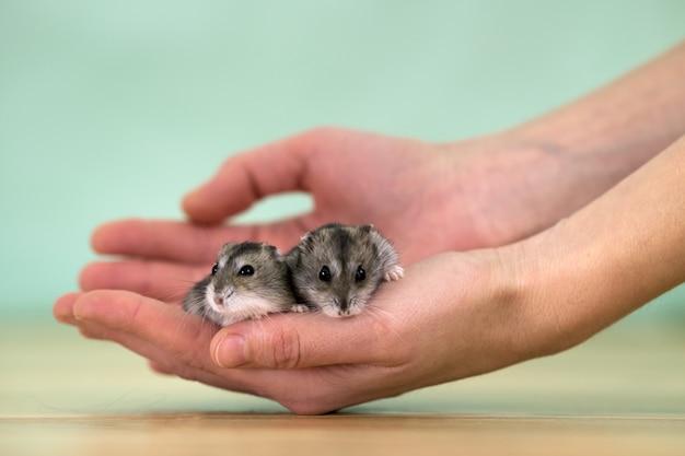 Крупным планом двух небольших смешные миниатюрные джунгарские хомяки, сидя на руках женщины. пушистые и милые джунгарские крысы в домашних условиях.