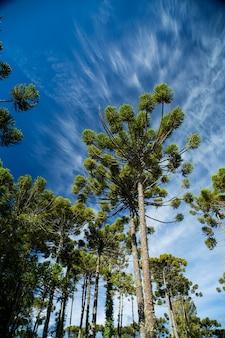 空と雲の背景を持つaraucariaangustifolia(ブラジルの松)の上部のクローズアップ、カンポスドジョルダオ、ブラジル。