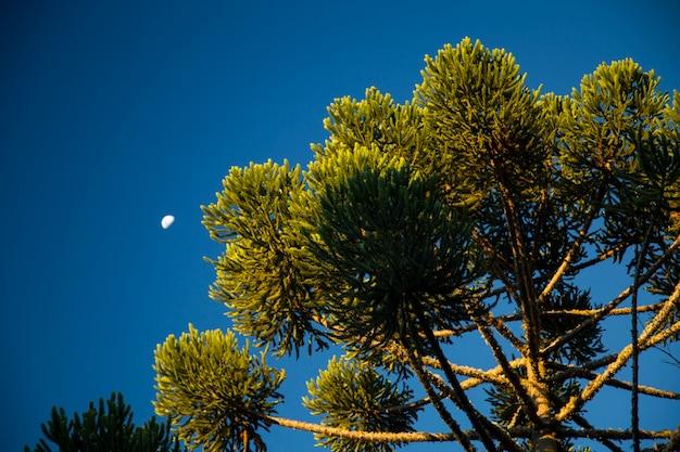 空を背景にしたaraucariaangustifolia(ブラジルの松)の上部のクローズアップ、カンポスドジョルダオ、ブラジル。