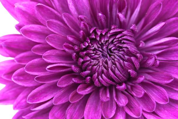 Крупным планом фиолетовый цветок хризантемы