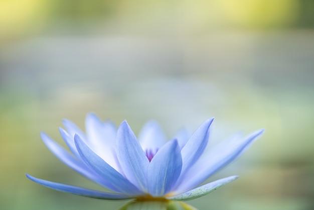 Крупным планом белый и голубой водный лотос в пруду с зелеными листьями