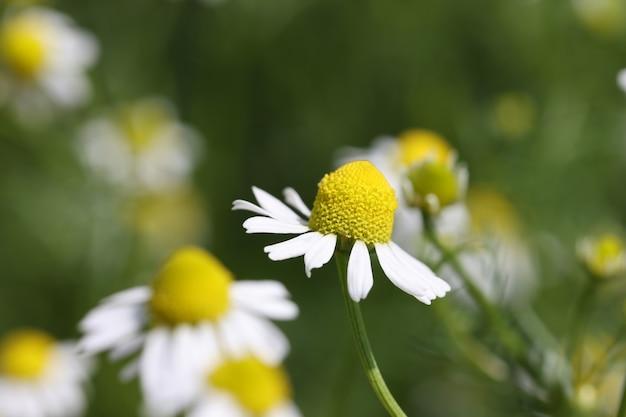 흰색 의료 약용 카모마일 꽃 약용 식물 개념의 근접 촬영