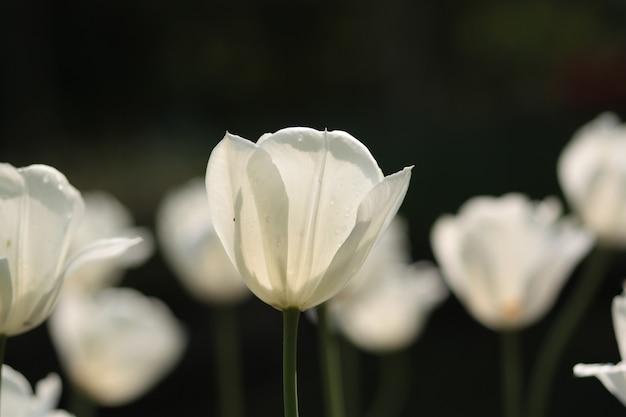 Крупным планом белые тюльпаны в поле под солнечным светом в нидерландах