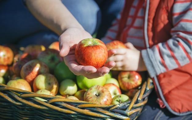 新鮮な有機リンゴと籐のバスケットで果物狩りの少女を示す女性の手のクローズアップ。健康食品と収穫時期の概念。