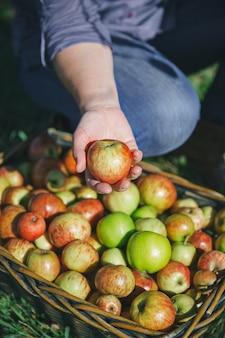 カラフルなフルーツと籐のバスケットから新鮮な有機リンゴを示す女性の手のクローズアップ。健康食品と収穫時期の概念。