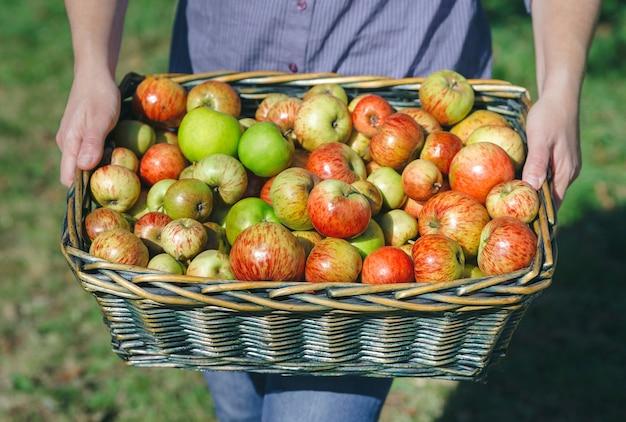 新鮮な有機リンゴと籐のバスケットを保持している女性の手のクローズアップ。健康食品と収穫時期の概念。