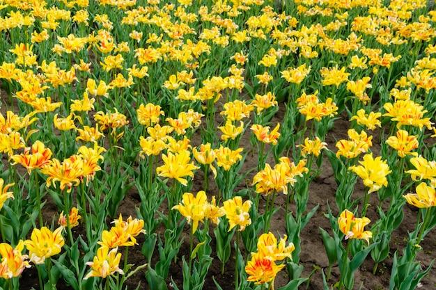 꽃에서 노란색과 빨간색 튤립의 근접 촬영입니다. 여름 정원 풍경입니다. 정원에서 노란색과 빨간색 꽃 튤립 꽃을 엽니다. 울리야놉스크, 러시아.