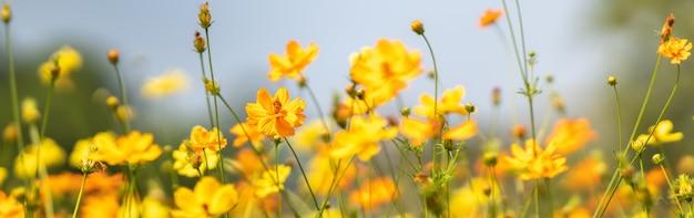 배경 자연 식물 풍경, 생태 커버 페이지 개념으로 사용하는 복사 공간 햇빛 아래 흐린 된 녹색 잎 배경에 노란색 코스모스 꽃의 근접 촬영.