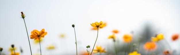 Tableunder 햇빛 자연 식물 풍경, 생태 커버 페이지 개념으로 하얀 하늘과 노란색 코스모스 꽃의 근접 촬영.