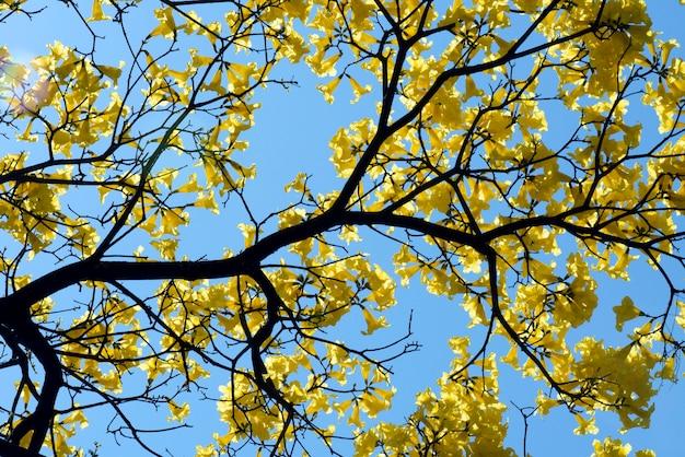 咲く黄色のラパチョの木のクローズアップ