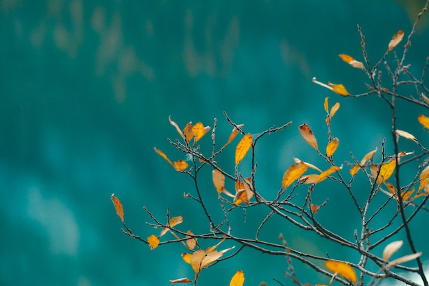 青い背景をぼかした写真の枝に黄色の葉のクローズアップ