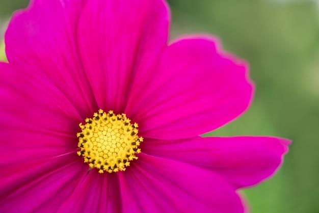 배경 자연 식물, 생태 식물 커버 페이지 개념으로 사용하는 분홍색 보라색 꽃의 노란색 꽃가루의 근접 촬영.