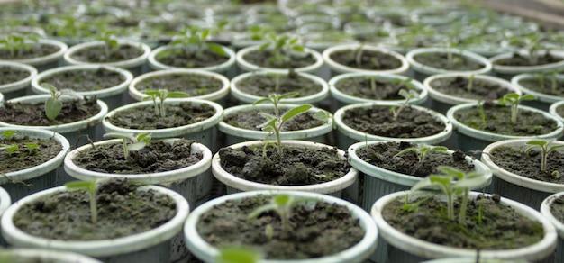 春に準備するために苗床の中で成長している若い新生児トマトのクローズアップ