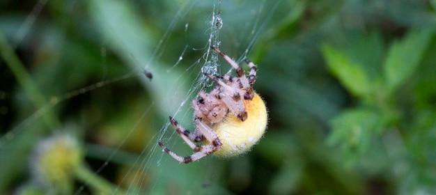 Крупный план на крестообразном пауке, также называемом европейским садовым пауком, паук-диадема или паук-тыква