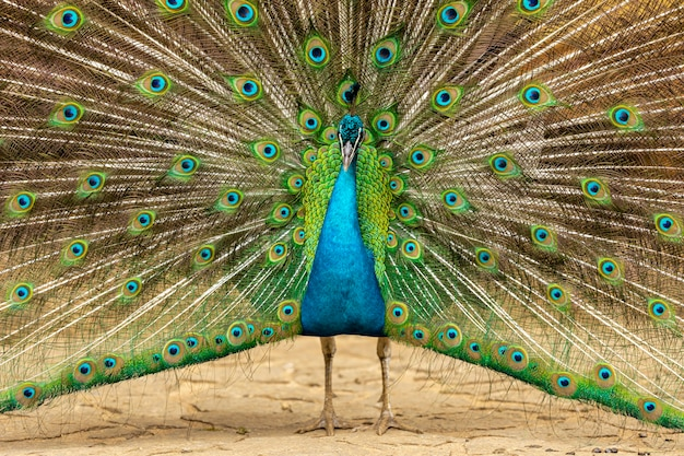 農場の孔雀のクローズアップ