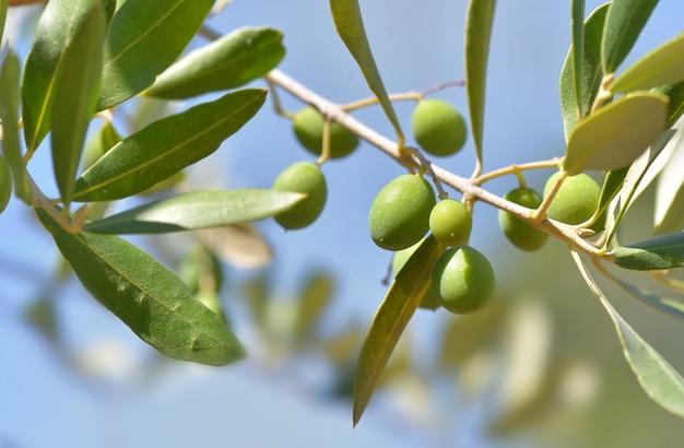 Крупным планом на свежие оливки, растущие на ветке дерева на голубом небе