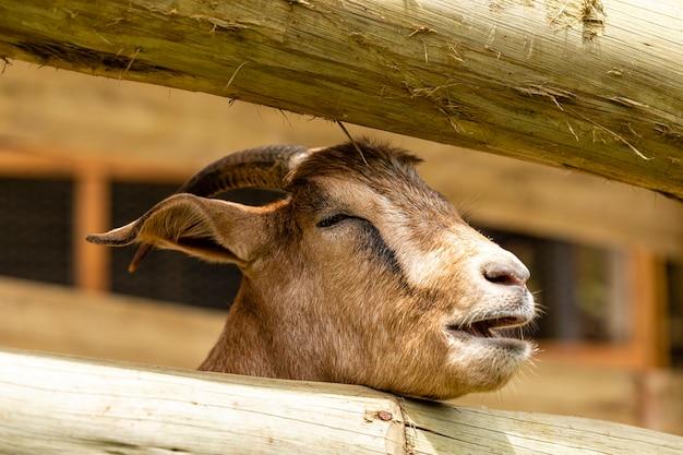 Крупным планом на козу на ферме.