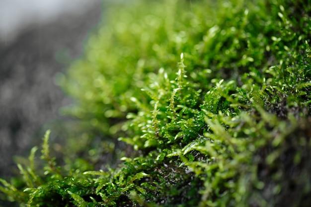 露を帯びた自然のウェットグリーンの新鮮な苔のクローズアップ