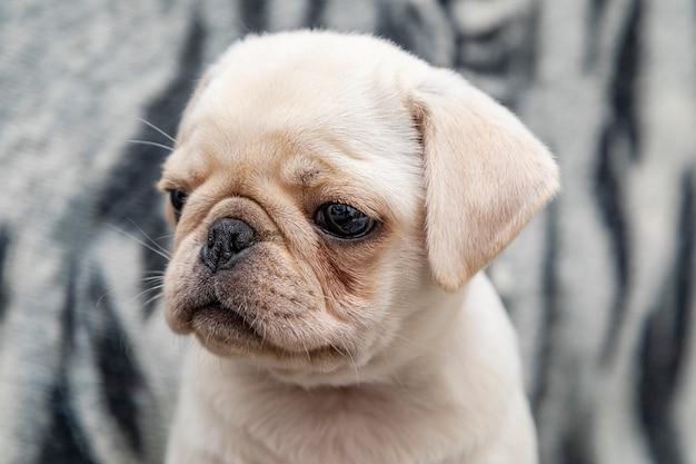 퍼그 개, 큰 눈을 가진 아기에 근접 촬영