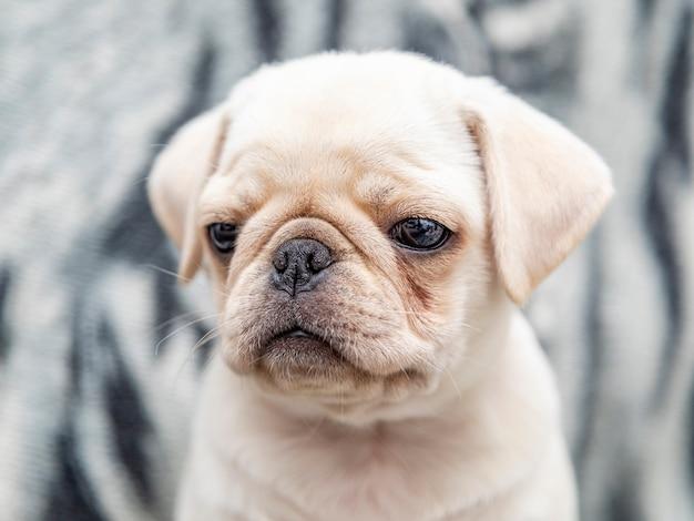 퍼그 개, 큰 눈을 가진 아기에 근접 촬영 프리미엄 사진