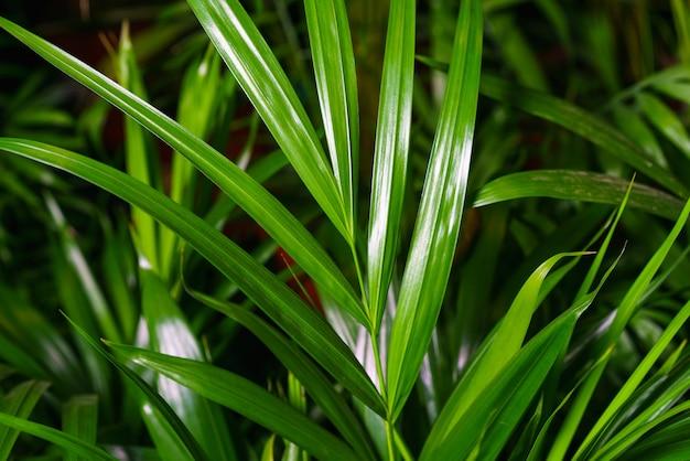 실내 식물의 대나무 야자 chamaedorea seifrizii의 잎에 근접 촬영 실내 식물의 녹색 잎...