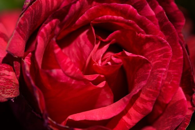 Closeup of one red rose with imperfect petals.