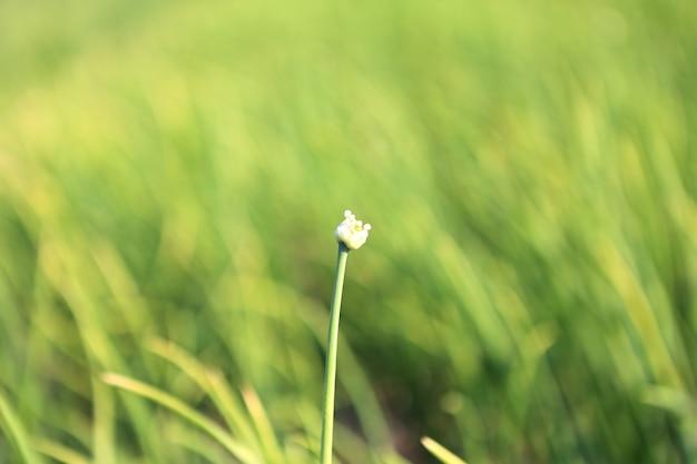 Крупным планом луковый цветок на плантации