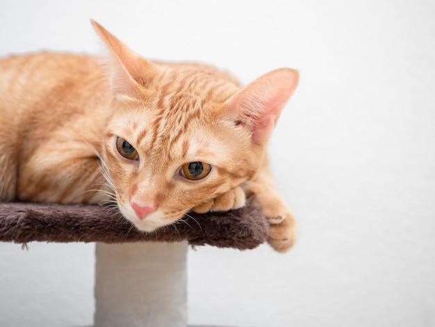 Крупным планом оранжевый кот лежал на кошачьем дереве на белом фоне