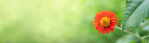 Closeup of orange cosmos flower on blurred green leaf surface under sunlight with copy space