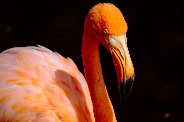 Primo piano di un uccello arancio del fenicottero
