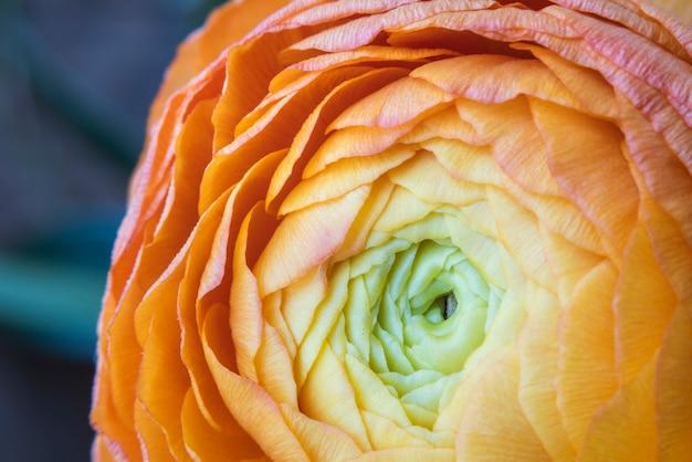Closeup orange yellow ranunculus persian buttercup flower