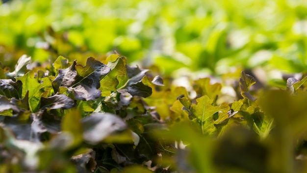 태국 온실에 있는 유기농 수경 녹색 브라시카 키넨시스 야채 재배 농장을 닫습니다.